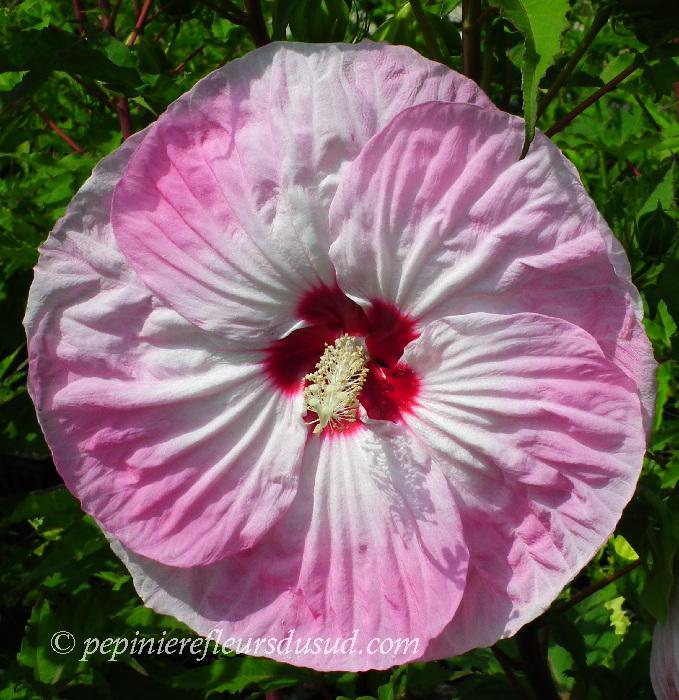 39 tie dye 39 hibiscus moscheutos hibiscus moscheutos sumpfeibisch. Black Bedroom Furniture Sets. Home Design Ideas
