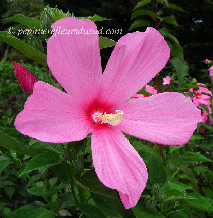 hibiscus x moscheutos miracle grande, hibiscus des marais