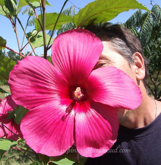Hibiscus moy grande hibiscus des marais - Taille de l hibiscus ...