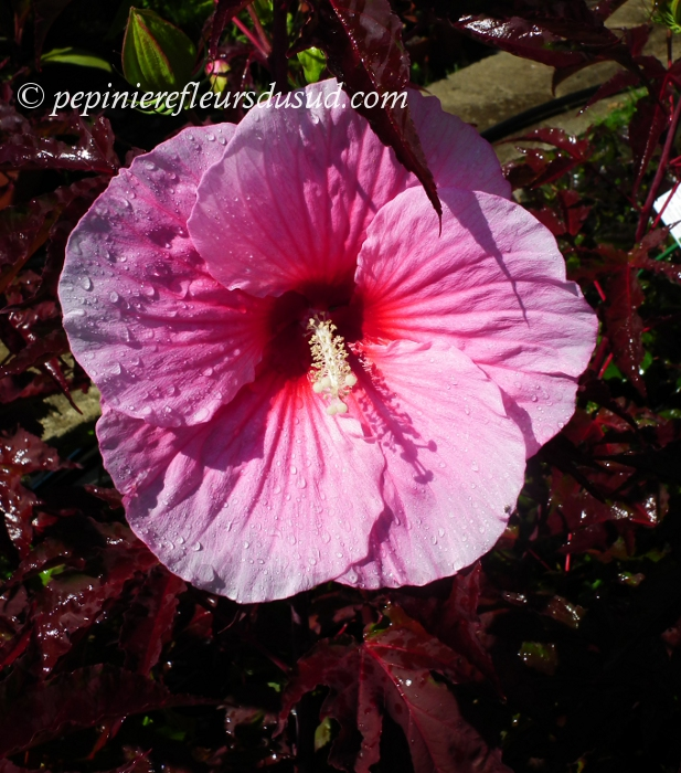 39 summer storm 39 hibiscus moscheutos hibiscus moscheutos sumpfeibisch. Black Bedroom Furniture Sets. Home Design Ideas