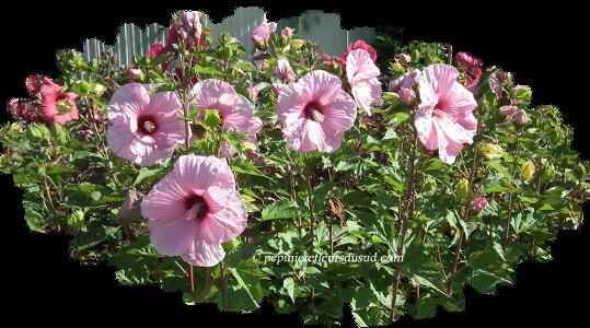 Notre travail d\'hybridation sur les Hibiscus rustiques herbacés ...